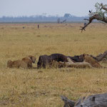 Leeuwen aan een buffelmaaltijd (foto: Gilbert Luyckx)