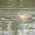 Nog nooit gezien.... een zwemmende luipaardschildpad....
