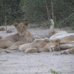 Relaxe leeuwenfamilie
