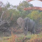 Olifant op de oever van de Zambezi