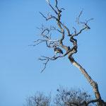 De spoorwiekgans (Spur Winged Goose) is de enige gans met sporen, en daarmee ook de enige gans die in een boom kan zitten.