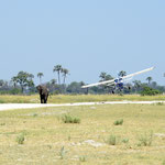 Olifant op de landingsbaan - take 2 (foto: Ronny Wuyts)