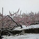 もも開花中の雪