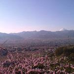 ももの花と富士山