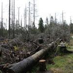 gezielter Baumschlag wegen Borkenkäfer