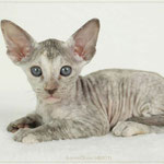 Golden Gloria | girl | chocolate silver torbie | STAY