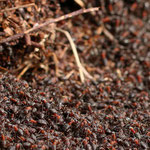 Ameisenhügel. Foto: Heiko Sander