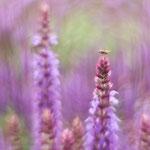 Fliege auf Salvia, Ralf Ehben