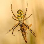 Wespenspinne mit Beute. Ralf Ehben