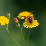 Pollenbedeckt. Peter Moe