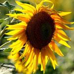 Sonnenblume. Gottfried Walter.