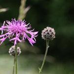 Skabiosenflockenblume. Heiko Sander