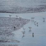 Die Zugvögel kommen - Säbelschnäbler im Watt. Cornelie Brumund