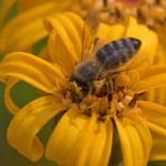 Honigbiene. Heiko Friedel