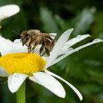 03 Heiko Friedel, Bienengelbsucht