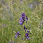 Sibirische Schwertlilie. Cornelie Brumund