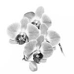 Orchidee. Heiko Sander