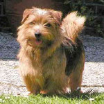 Norfolkterrier