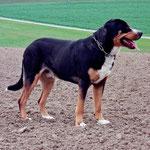 Grosser_Schweizer_Sennenhund