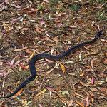 Die Red Bellied Black Snake, ist im Osten Australiens verbreitet und auch Giftig, gehört  aber nicht zu den gefährlichsten Arten.