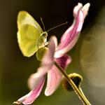 Kohlweißling auf einer Anemonenblüte