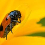 Ameisen Sackkäfer