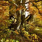 Knorrige Buche im Herbst