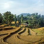 Unzählige Reisterassen liegen auf dem Weg