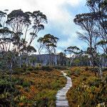 Bohlenweg durch Eukalyptuswald und Heidekraut