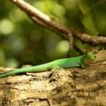 """Der """" Seychelles Green Gecko """""""