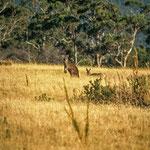 Gut getarnt die zwei Kängurus im braunen Gras