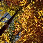 Immer wieder richtet der Kopf nach oben, um die intensive Herbstfarben zu sehen.
