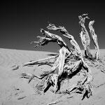 Abgestorbene Wurzeln eines Tamariskenbaumes