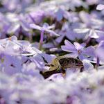 Zauneidechsen Nachwuchs im Blühenden Phlox