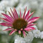 Rosa farbene Echinacea