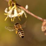 Biene im Flug an einer duftenden Lonicerablüte