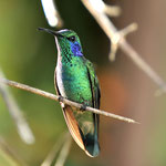 Green- Violet ear Hummingbird , Kolibri , Vogel , Costa Rica