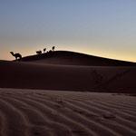 Die Kamelführer treiben ihre Kamele zurück ins Lager