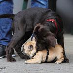 und wieder der aufdringliche Labradorwelpe