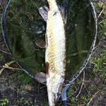 Hecht 70 cm ca. 6 Pfund Weiher 4 März (zurück wg. Schonzeit)