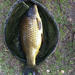 Schuppenkarpfen 73 cm 14 Pfund Weiher 4 März