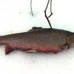 Bachsaibling, 37 cm, 0,5 Kg, Weiher 4, März