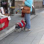 埼玉県の川越で見つけたブヒ(パグ)。飼い主さんの足に顔を当ててました。(2013.2.23)