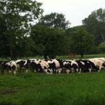 Ordentliche Kühe in Reih und Glied.