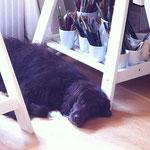 Ein gemütlicher Hund unter meinem Zeichentisch.