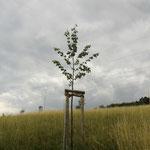 """""""Am Rhode"""" 6/2011 Linde zum Gedenken der Verstorbenen Aktiven"""