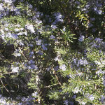 Pretty blue flowers of the rosemary