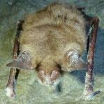 Großes Mausohr (Weißnase)