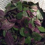 Die sauberen, abgezupften Blätter