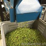 …und die Oliven gesammelt…